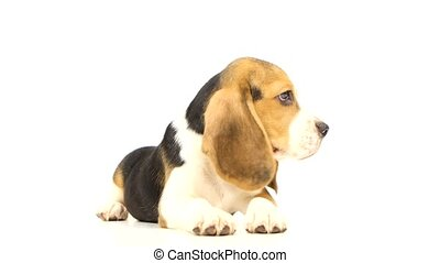 pretty Puppy Beagle in front of white background. He stuck...