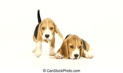 Cute Beagle Puppy 5 week old pretty Puppy Beagle in front of...
