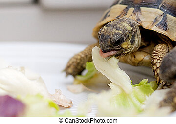 Turtle on salad that eating on dish