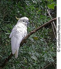 Sulphur crested cockatoo (Cacatua sulphurea), Indonesia