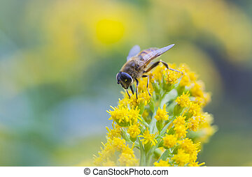 fly mimics bee on yellow flower - yellow and black fly...