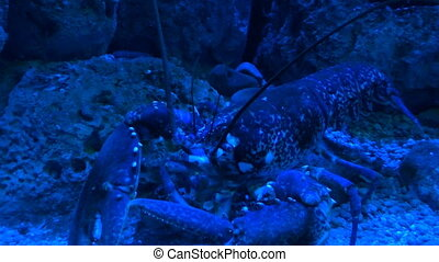 Lobster eating under blue light