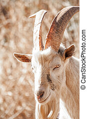 Saanen Billy Goat - Portrait of a Saanen Billy Goat with big...
