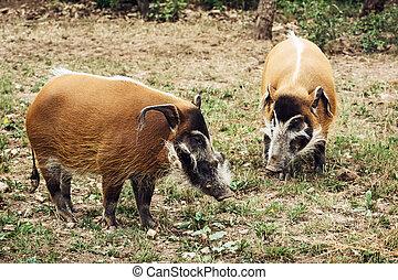 Red river hog (Potamochoerus porcus) - Pair of Red river hog...