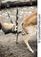 Pair of Blackbuck (Antilope cervicapra). Male of antelope...