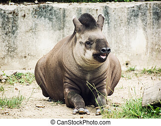 South American tapir (Tapirus terrestris) also know as...