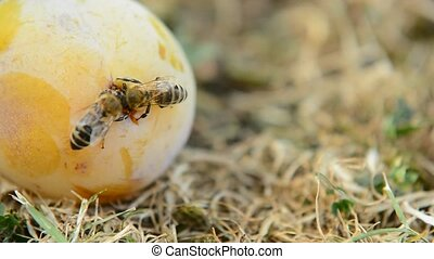Honey bees on plum - Honey bees feed the rotten plum.