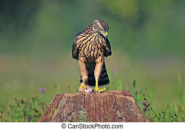 Juvenile northern goshawk with a mouse