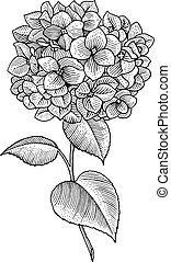 flower - Sprig of blooming hydrangea, black and white...