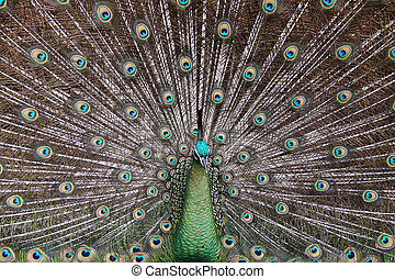 Male Green Peafowl Peacock - Pavo muticus - from Southeast...