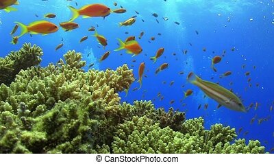 Tropical Fish on Vibrant Coral Reef, static scene