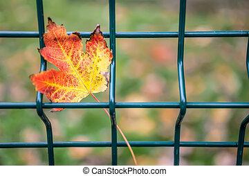 Autumn leaf - Closeup of colorful autumn leaf on a fence