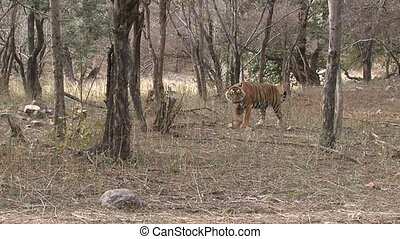 Bengal Tiger in dry woodland - Bengal Tiger (Panthera tigris...