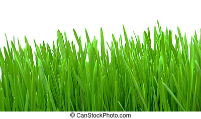 wheat grass isolated on white background