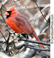 Cardinal bird on a tree - Cardinal (Cardinalidae) bird...