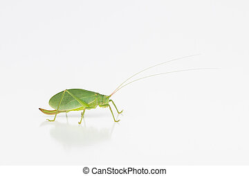 Female katydid with ovipositor - Side view of large green...
