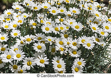 Blooming marguerites - Bunch of Marguerites