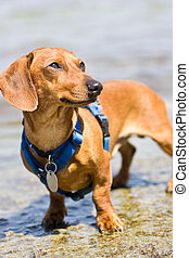 Miniature Dachshund with blue harness - A red, smooth...
