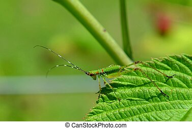 Katydid, Grasshopper, Scudderia furcata insect, bug in the...