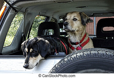 Dogs Traveling in Car - Beautifull golden retriever type dog...