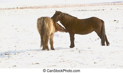 Two Icelandic horses take care of each other