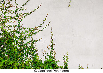 Green creeper plant on white wall - Beautiful background of...