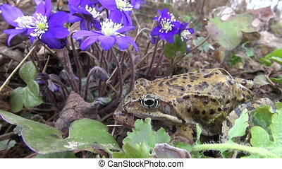 pair common frogs Rana temporaria near spring violet flowers