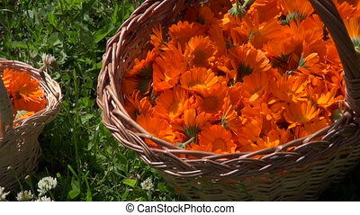small and big baskets with marigold - mother and daughter...