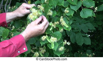 pick linden lime tree blossoms - herbalist hands pick linden...