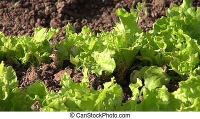 spring vegetable garden in farm.Lettuce, onion and carrots...