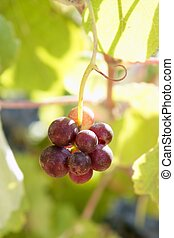 Agriculture wine red grapefruit field