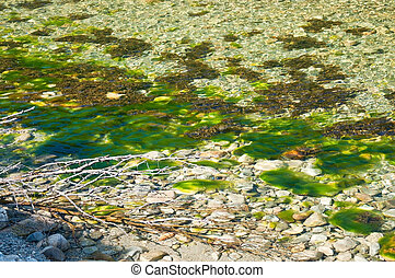 River seagrass - Green river seagrass in river in Bindal in...