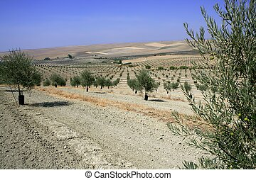 Country olive young trees hill field