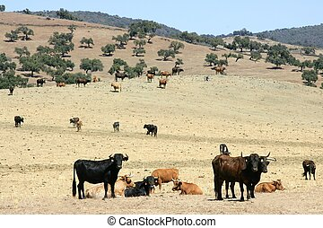 Bull cattle black toro in southern Spain Andalucia