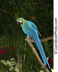 Blue and Gold Macaw - Macaw, full length, looking right