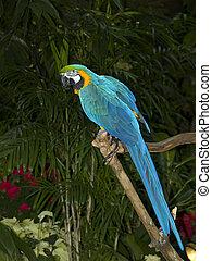 azul, oro, papagallo