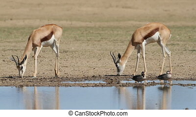 Springbok antelopes at waterhole - Two springbok antelopes...