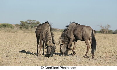 Wildebeest territorial display - Territorial display of two...