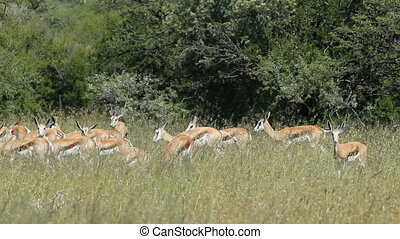 Springbok antelopes in grassland - Herd of springbok...