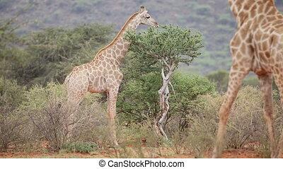 Giraffes in natural habitat - Giraffes (Giraffa...