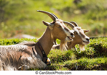 Goats on the Green Grass - Two goats with horns resting on a...