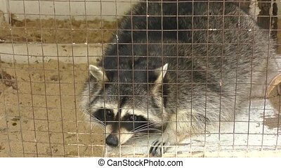 Raccoon at the farm on a hot summer day
