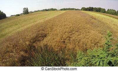 harvester moving oilseed rape field