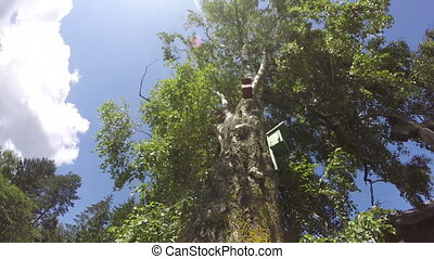 old birch tree with nesting boxes - An old birch tree with...