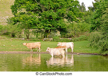 Grazing cows - Cows grazing and drinking water in the pond