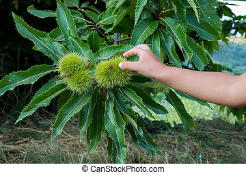 child hand touching spiny chestnut bur in late summer