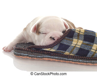 three week old english bulldog puppy curled up with a plaid...