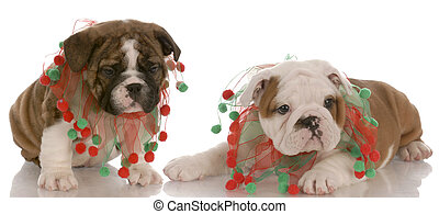 two english bulldog puppies wearing cute christmas scarves