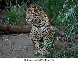 Something approaches this female leopard - Time to...