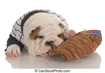 sports fan - english bulldog puppy wearing jersey chewing on...